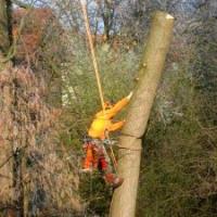 Baumpflege: Großbaumfällung in Seilklettertechnik. Erle