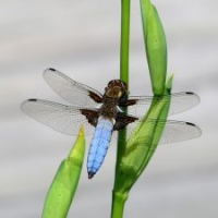 Gartenteich: Großlibelle Plattbauch, Libellula depressa