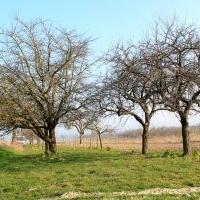 Obstbaumpflege: Erhaltungsschnitt Apfelbaum; Streubstwiese