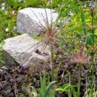 Knollen- und Zwiebelpflanzen: Zierlauch Allium schubertii Schubertslauch