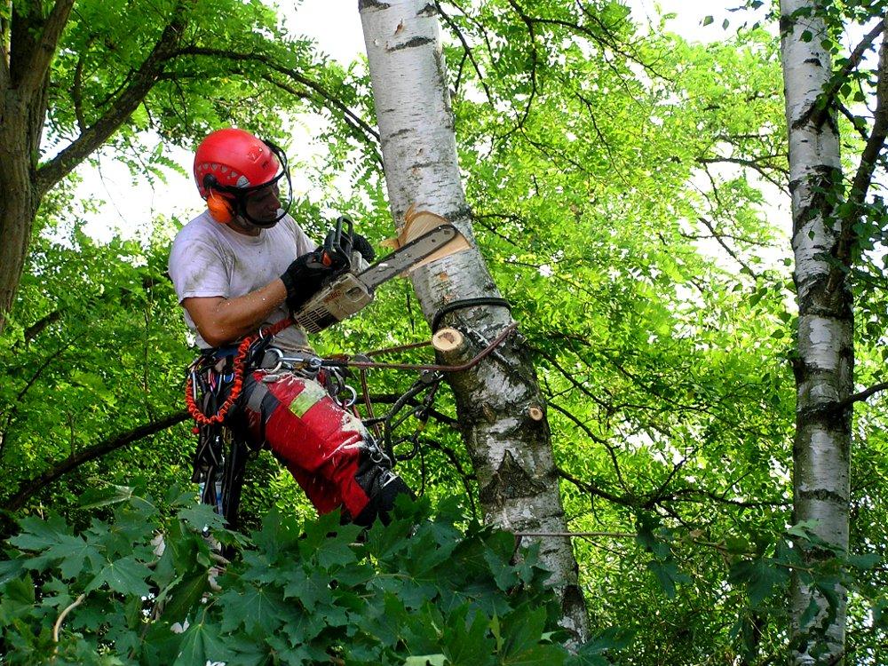 Baumpflege: Baumfällung in Seilklettertechnik; Birke