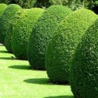 Gartenpflege: Heckenschnitt, Formschnitt, Topiaries; Buchskegel