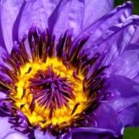 Gartenteich, Teichbepflanzung: blaue, tropische Seerose