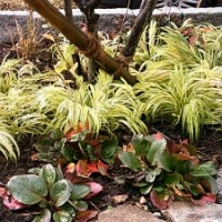 Gartengestaltung Stauden und Gräser: Hakonechloa macra 'Aureola' - Japan-Goldbandgras und Bergenia-Hyb. 'Eroica'