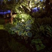 Gartenbeleuchtung Gartenlicht Hosta sieboldiana 'Frances Williams' Buchskugel