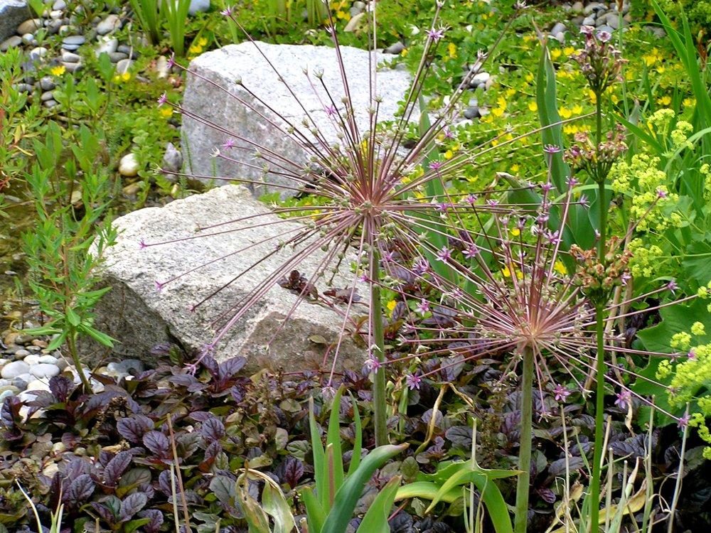 Gartengestaltung mit Knollen- und Zwiebelpflanzen: Zierlauch Allium schubertii, Schubertslauch über Ajuga reptans 'Chocolate Chip', Kriechender Günsel