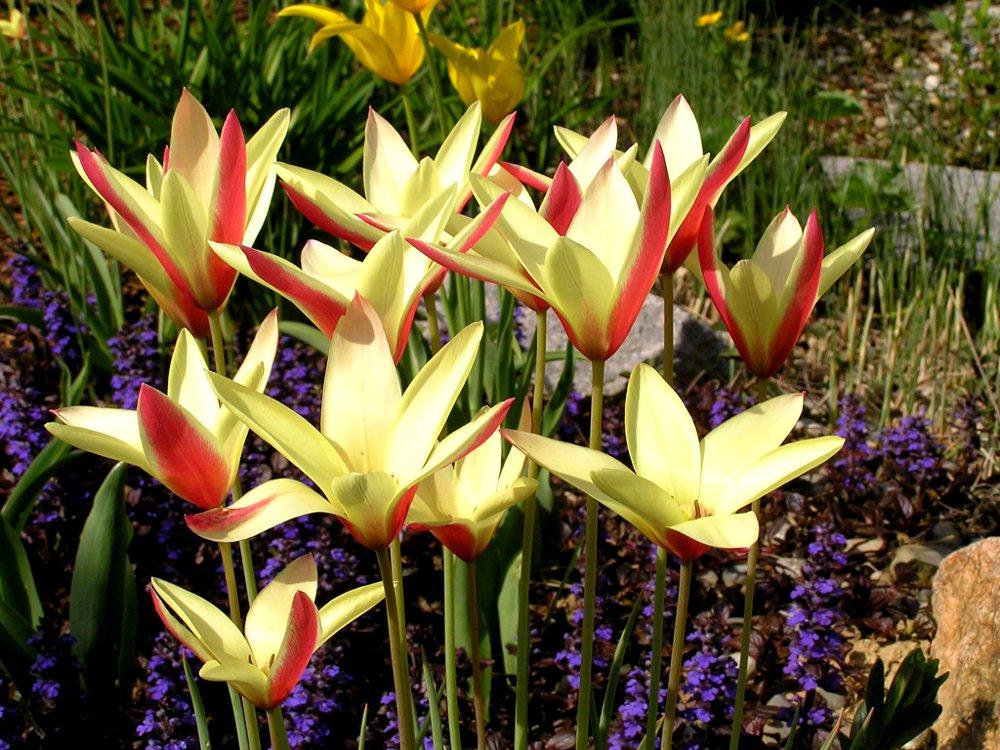 Knollen- und Zwiebelpflanzen, Frühjahrsblüher: Botanische Tulpe Tulipa clusiana 'Cynthia' zwischen Ajuga reptans, Kriechendem Günsel