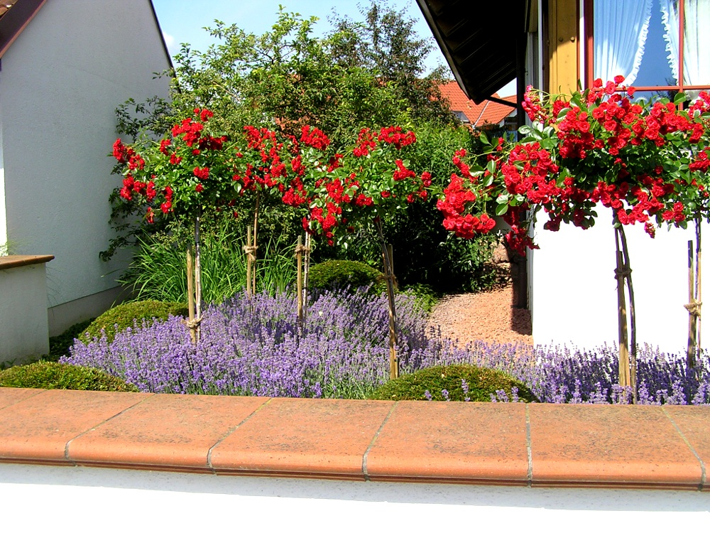 Hochstamm-Rosen 'Roter Korsar' im Lavendel-See mit Buchs-Kugeln