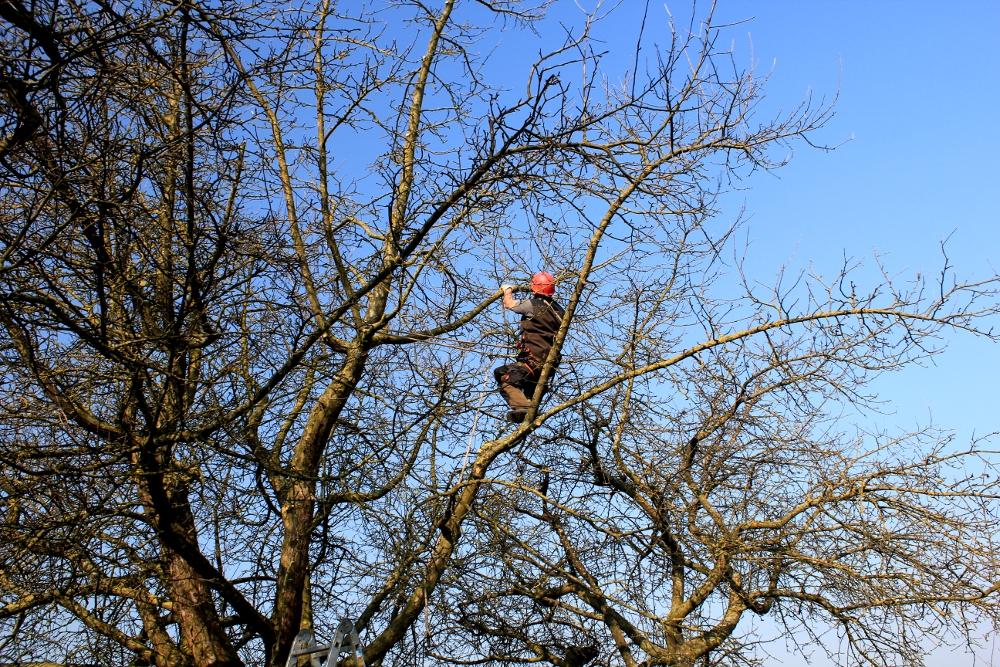 Obstbaumpflege auf der Streubstwiese: Erhaltungsschnitt Apfelbaum Seilklettertechnik