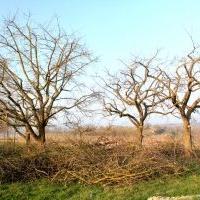 Obstbaumpflege: Erhaltungsschnitt an alten Apfelbäumen; Streuobstwiese, vorher