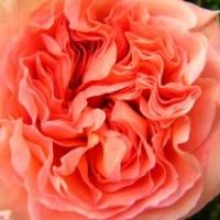 Die wunderbar duftende Englische Strauchrose 'Abraham Darby'