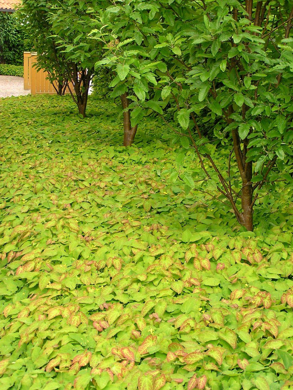 Bodendecker Epimedium x perralchicum 'Frohnleiten' unter Thüringischer Säuleneberesche, 'Sorbus thuringiaca 'Fastigiata