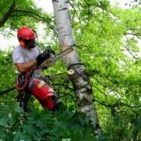 schnelle, sichere, schonende Baumpflege: Baumfällung in Seilklettertechnik; Birke