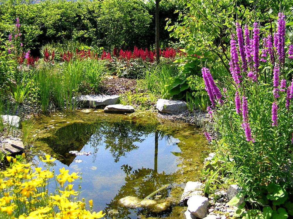 Gartenteich und Staudenpflanzung. Coreopsis verticilliata 'Grandiflora', Mädchenauge; Lythrum salicaria, Blutweiderich; Astilbe Arendsii-Hybr. 'Fanal'
