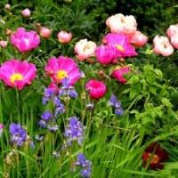 Gartengestaltung Staudenpflanzung - Paeonien und Iris germanica