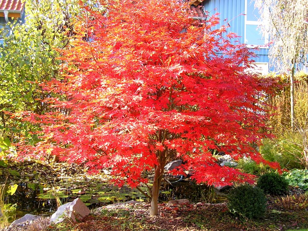 Acer palmatum 'Atropurpureum' in Herbstfärbung