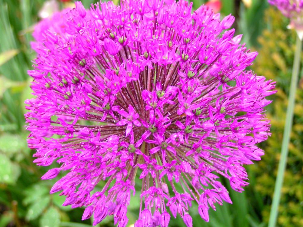 Allium aflatunense 'Purple Sensation', Purpur-Kugellauch, Zierlauch Zwiebelpflanzen Geophyten Frühjahrsblüher