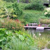 Gartenteich mit Uferstauden. Darmera peltata, Euphorbia griffithii 'Fireglow'. AM Hang blühend Aruncus dioicus