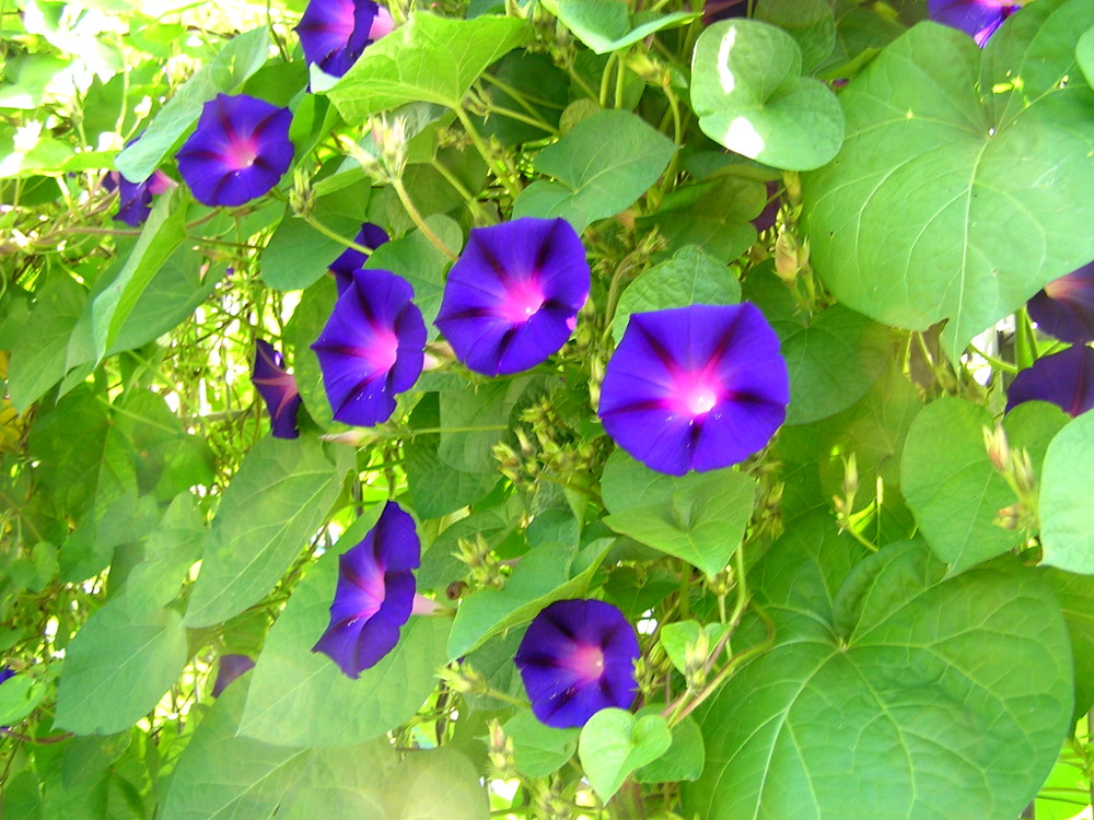 Ipomoea.purpurea.prunkwinde.sommerblumen